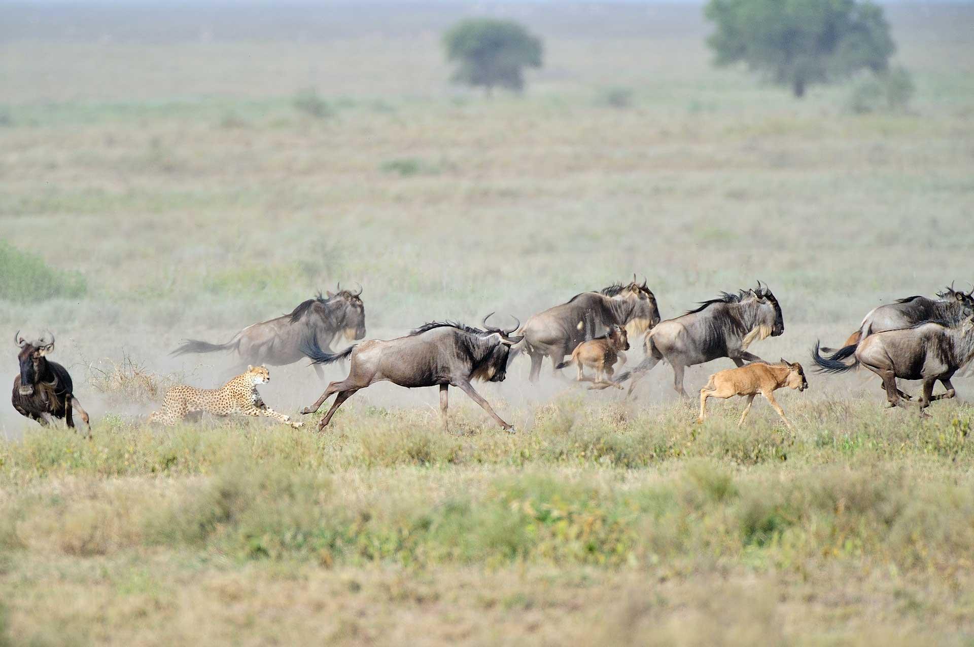 Cheeta jaagt op gnoe