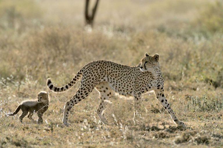 Cheeta vrouwtje met klein jong