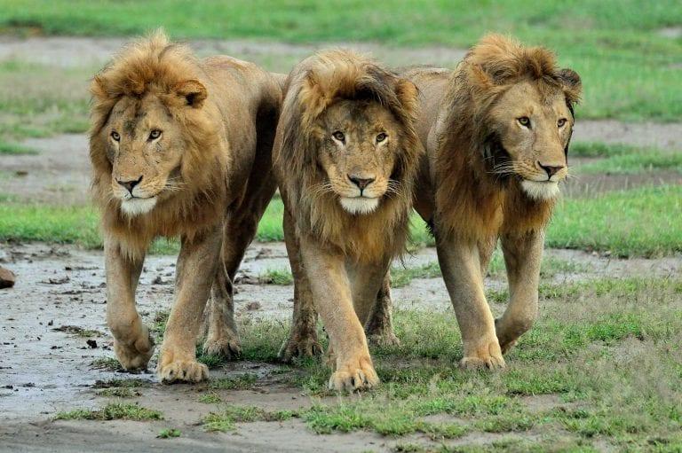 Drie mannetjes leeuwen
