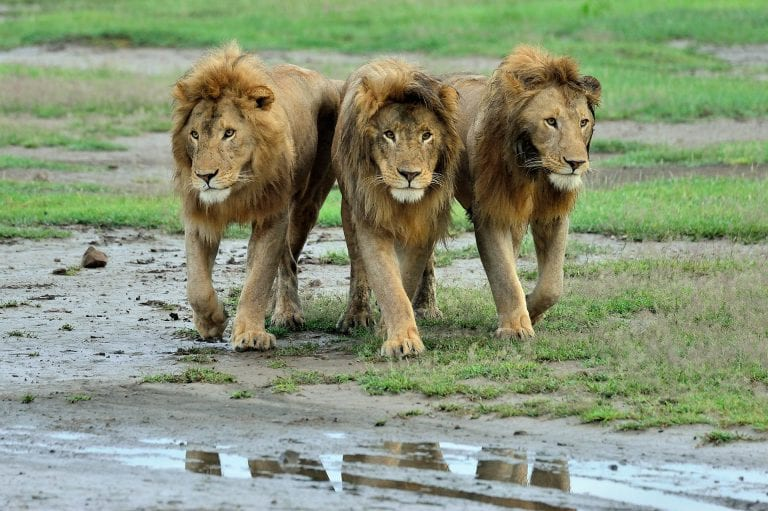 Drie mannetjes leeuwen zij aan zij