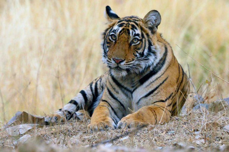 Een tijger in Ranthambhore