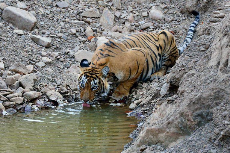 Drinkende tijger in Ranthambhore