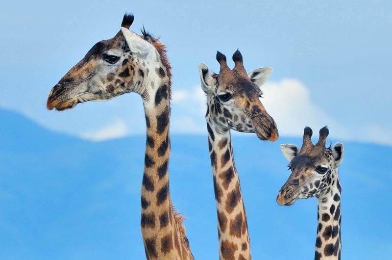 Een tripel portret van drie giraffen