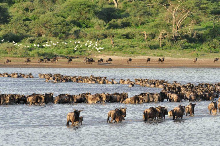 Een lint van gnoes steekt het Ndutu meer over. In de achtergrond vliegt een groepje zilverreigers over.
