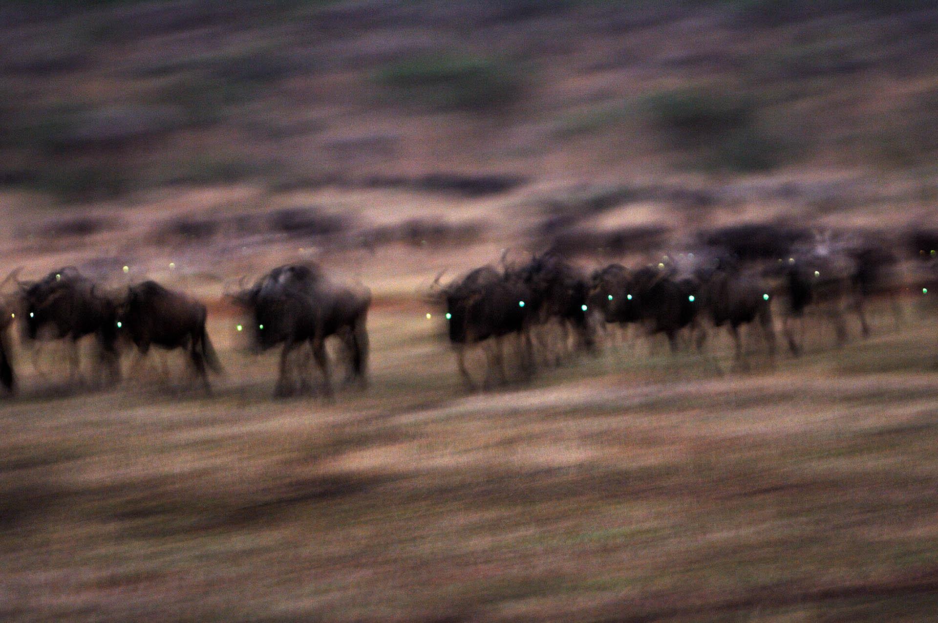 De grote trek van de gnoe trekt veel toeristen naar de Serengeti.