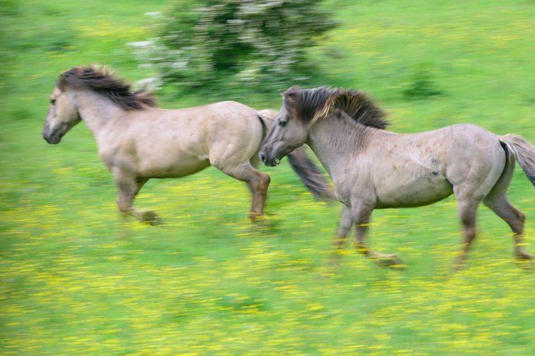 Rennende konik paarden in de Blauwe Kamer. Mee getrokken met de camera.