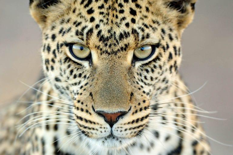 Vooral in het centrale deel van de Serengeti is de kans op het zien van een luipaard groot