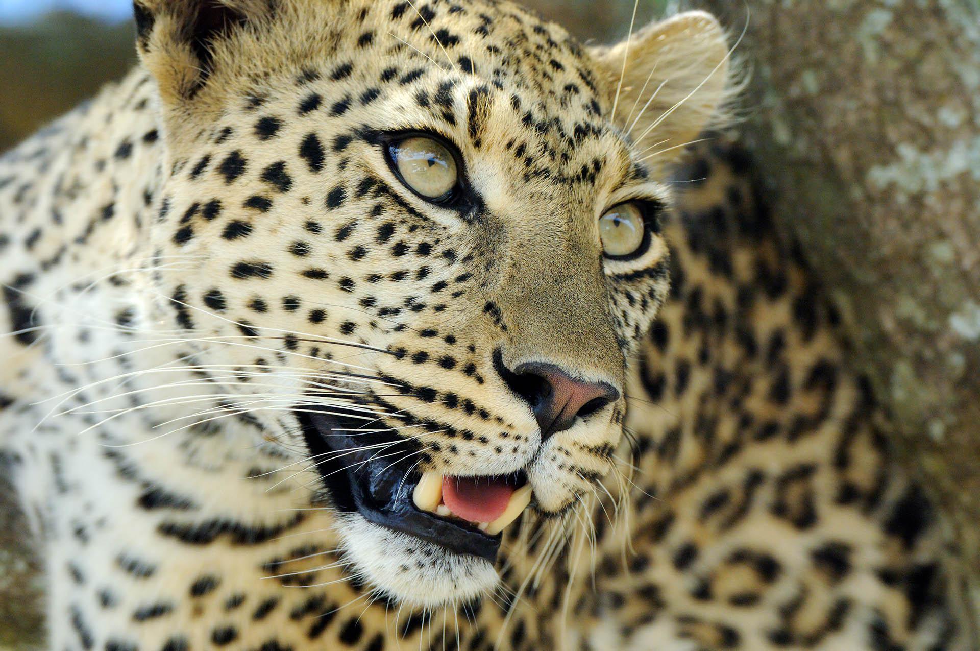 Luipaard in boom in Serengeti