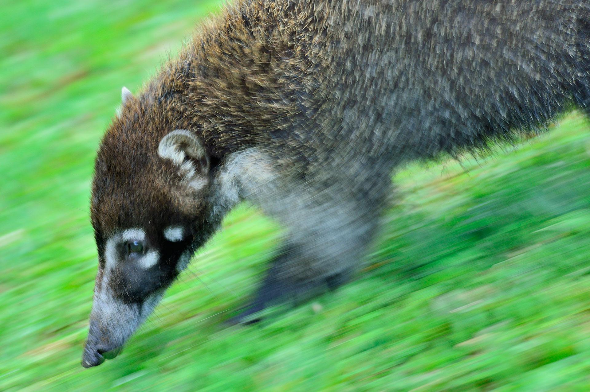 Een neusbeer komt voorbijgelopen en met lange sluitertijd meebewegend gefotografeerd.