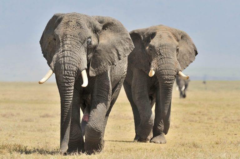 In de Ngorongoro krater zien we grote mannetjes olifanten