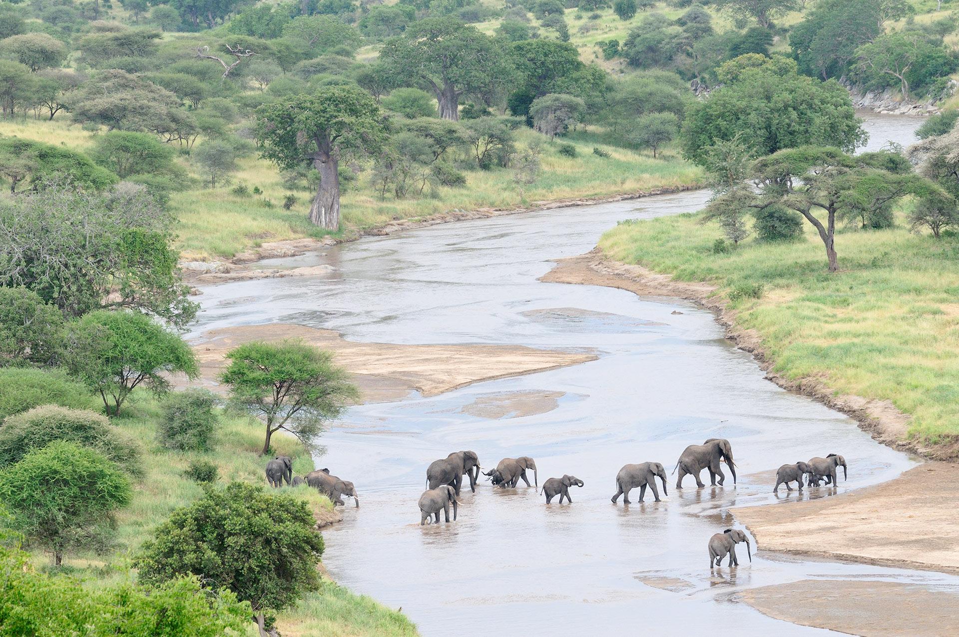 Olifanten steken de Tarangire rivier in Tanzania over