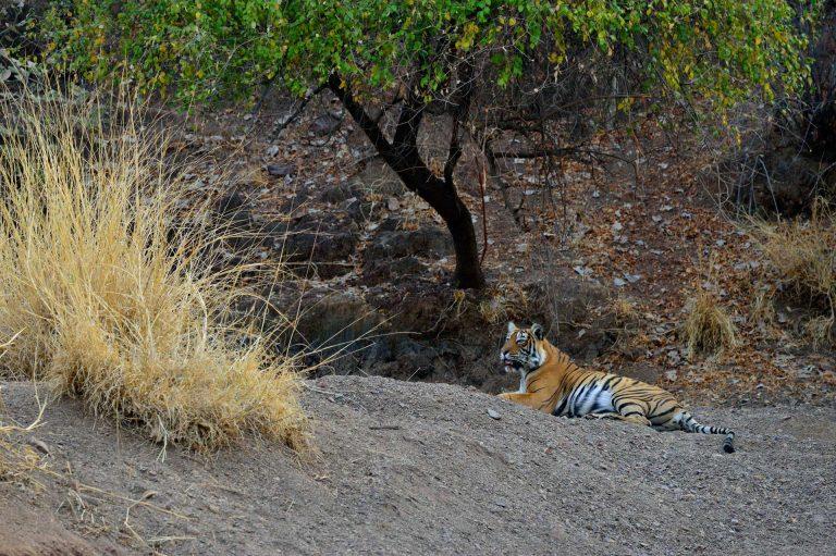 Een tijger in het fraaie landschap van Ranthambhore Nationaal Park