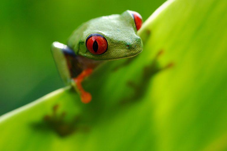 Kleurrijke roodoogboomkikker in Costa Rica