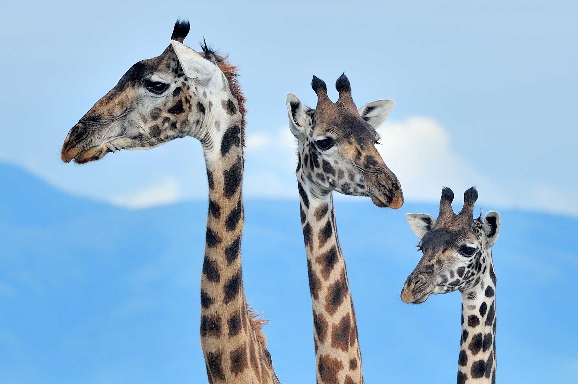Drie giraffen tijdens Tanzania fotoreis Ndutu Serengeti Ngorongoro