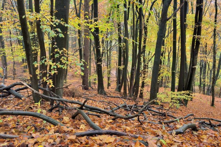 Een fraaie voorgrond van liggende takken draagt bij sterke compositie in dit herfstig gekleurde beukenbos.