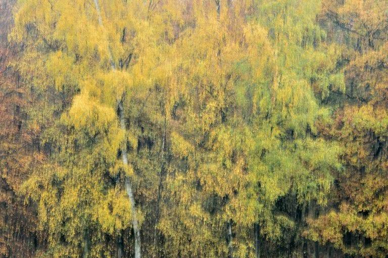 Een creatieve schildering met licht van een herfstig gekleurde bosrand met daarin centraal een berk.