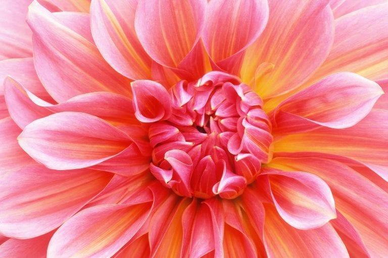 Dahlia midden in de bloem gefotografeerd