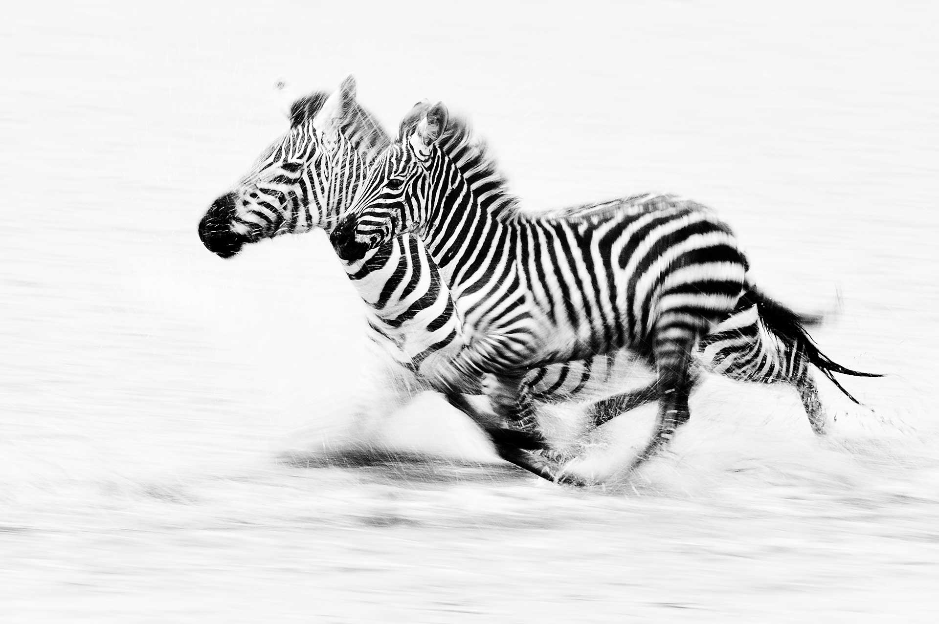 Zebra's rennend door Lake Ndutu