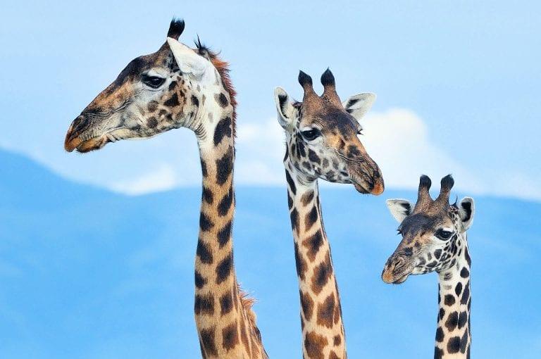 Portret van drie giraffen in de Serengeti