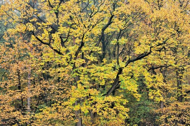 Een kleurige kastanje in de herfst op de Duivelsberg