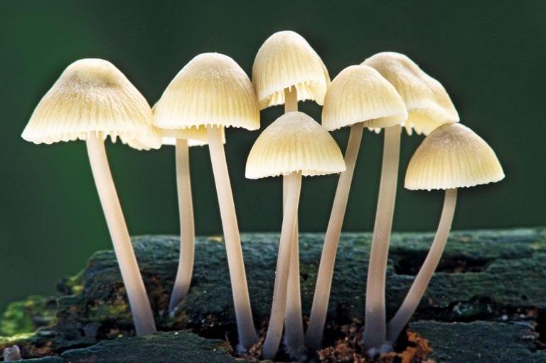 Mycena paddenstoelen in Amelisweerd