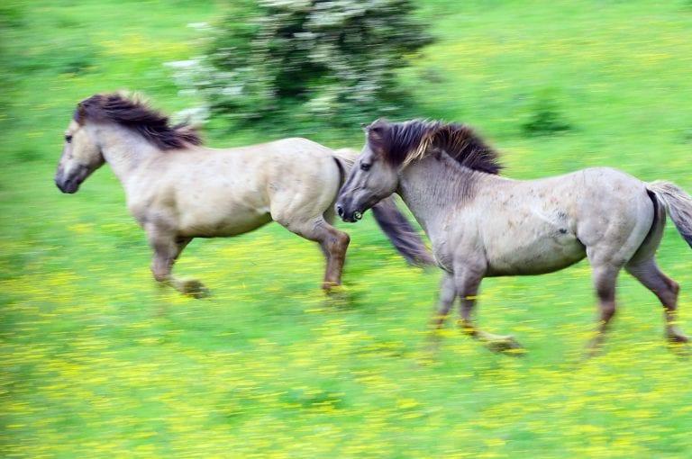 Rennende konik paarden in de Blauwe kamer