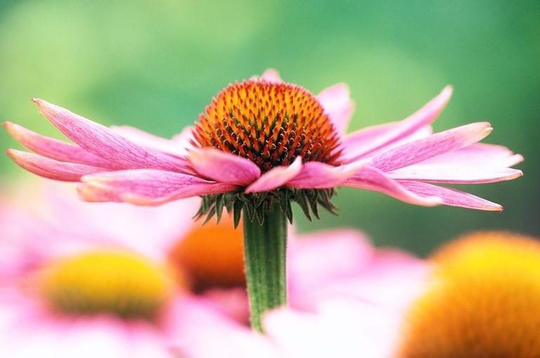 Portret van rode zonnehoed of wel Echinacea purpurea