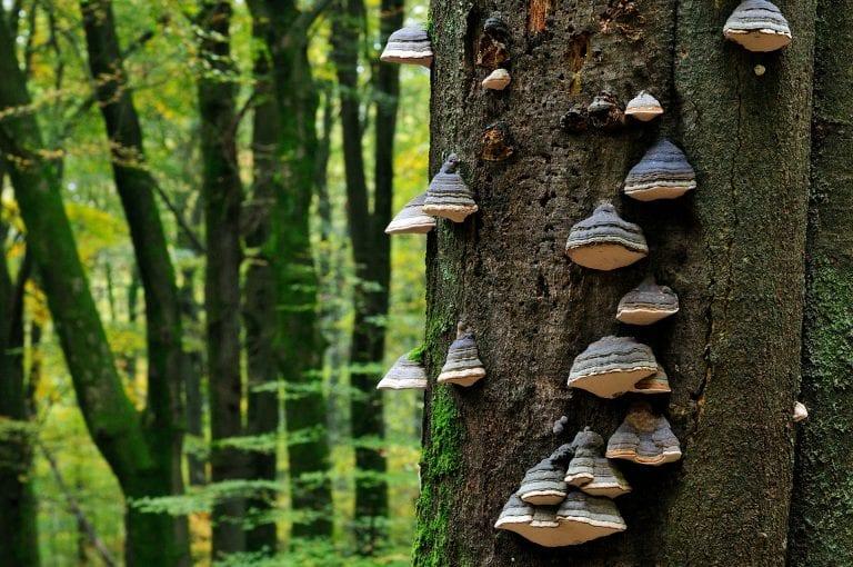 Beuken boom met paddenstoelen